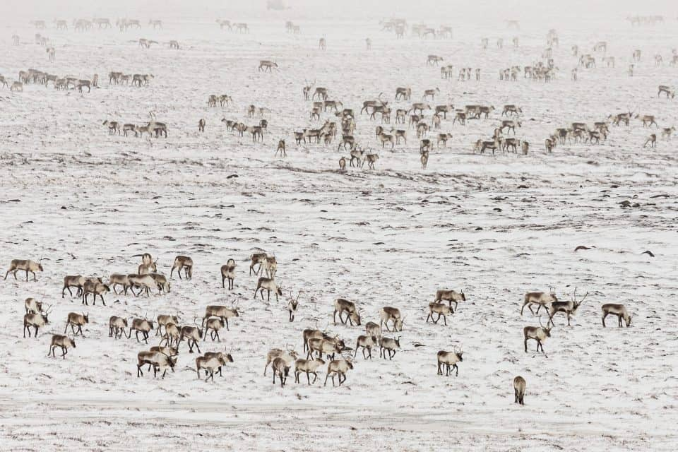 The beautifully massive Nunavut territory in Canada is home to many hearty animals including the caribou. This land belongs to the Inuit, a group indigenous to the area for thousands of years.